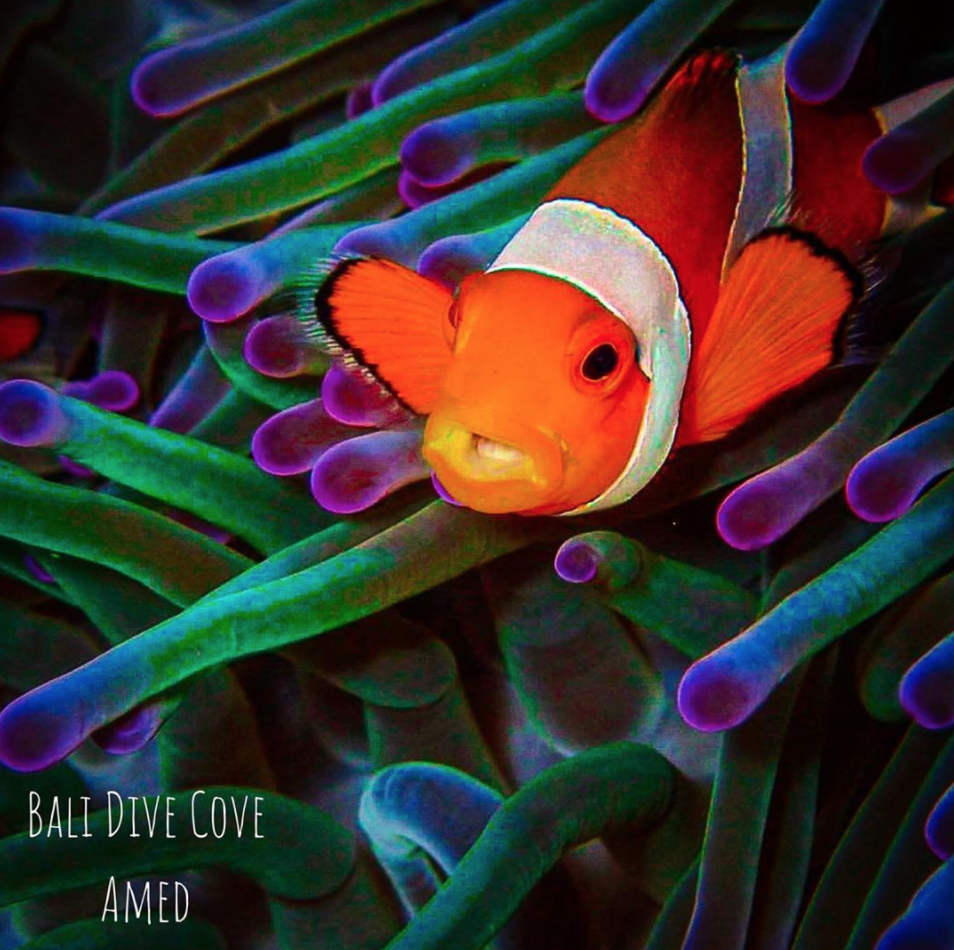 coral reef creature clown fish