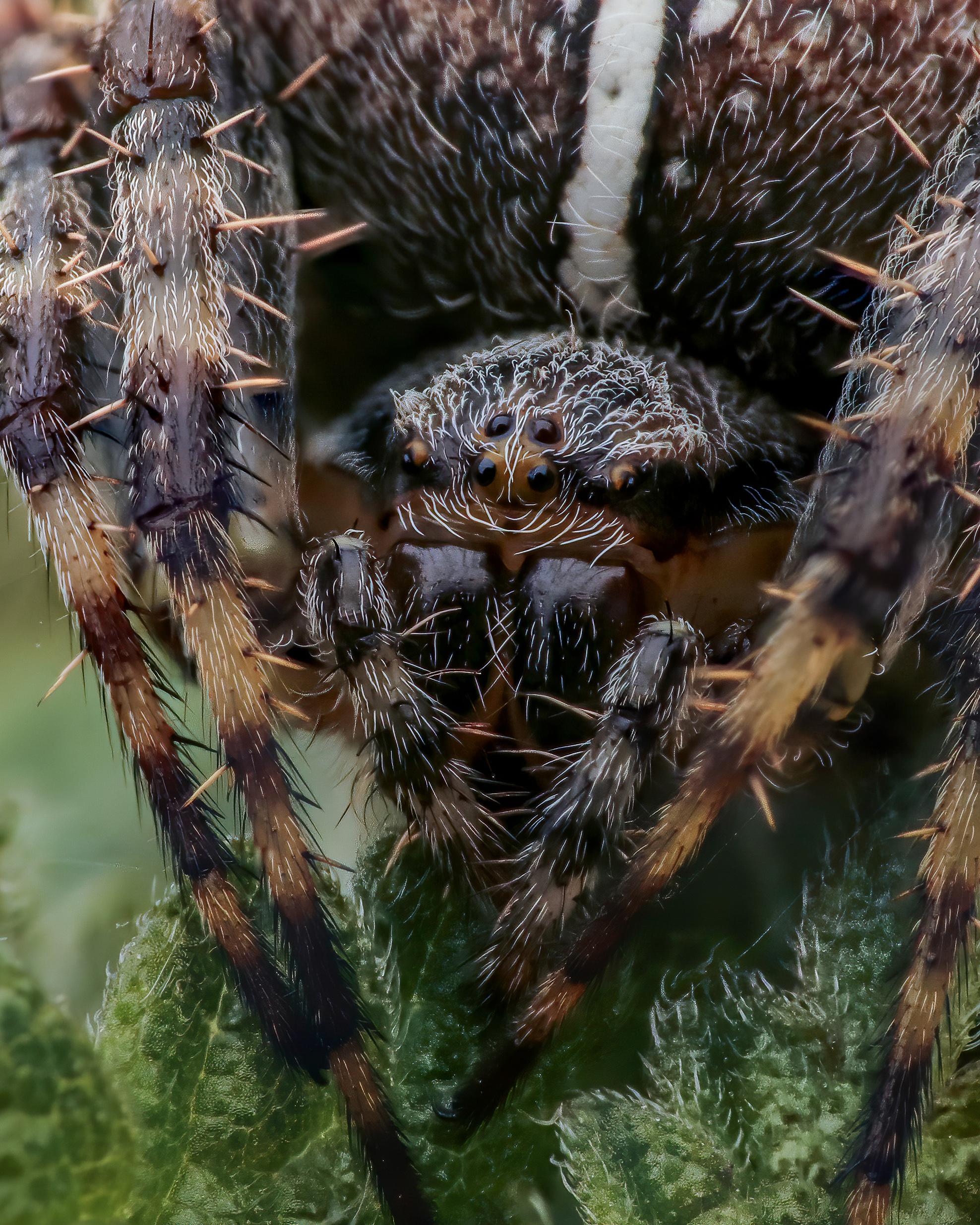 European Spider
