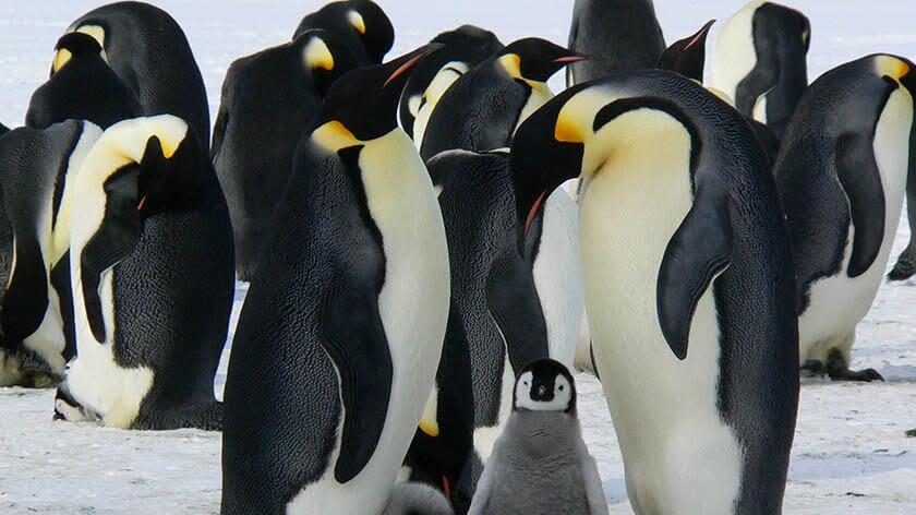 Antarctic emperor penguins